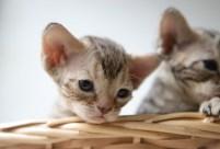 デボンレックスKIKIの仔猫 チョコレートマッカレルタビーメス Devon Rex Kitten ChocolateMackerelTabby