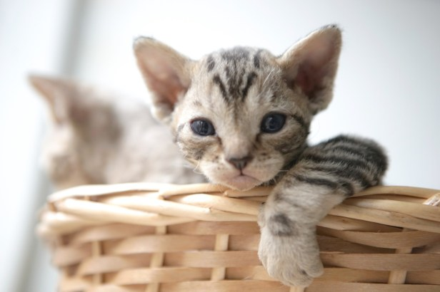 デボンレックスKIKIの仔猫 ブラウンマッカレルタビーオス Devon Rex Kitten BrownMackerelTabby
