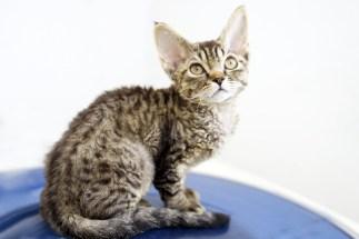 デボンレックスCATERINAの仔猫 ブラウンマッカレルタビーメス Devon Rex Kitten BrownMackerelTabby