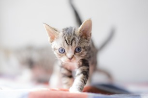 デボンレックスSNIPの仔猫 ブラウンクラシックタビー&ホワイト♀ Devon Rex Kitten ClassicTabby&White
