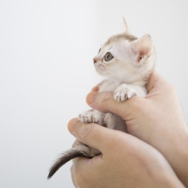 シンガプーラ ジジ 仔猫 ♀ SINGAPURA GIGI KITTEN