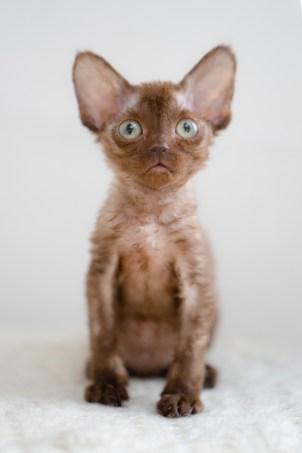 デボンレックスKIKIの仔猫 チョコレート メスDevon Rex Kitten Chocolate