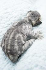 デボンレックスCATERINAの仔猫 ブラウンクラシックタビーメス Devon Rex Kitten BrownClassicTabby
