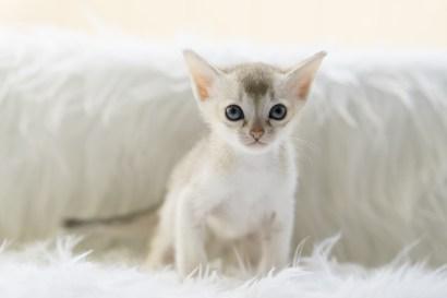シンガプーラ アセラ 仔猫 ♂ SINGAPURA ACELA KITTEN