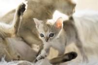 シンガプーラ アセラ 仔猫 ♀ SINGAPURA ACELA KITTEN
