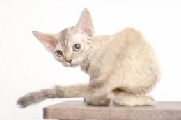 デボンレックスCATERINAの仔猫 ブラウンマッカレルトービーメス Devon Rex Kitten BrownMackerelTorby