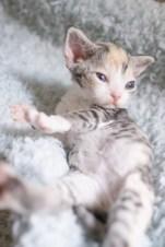 デボンレックスSNIPの仔猫 マッカレルトービー&ホワイト♀ Devon Rex Kitten MackerelTorbie&White