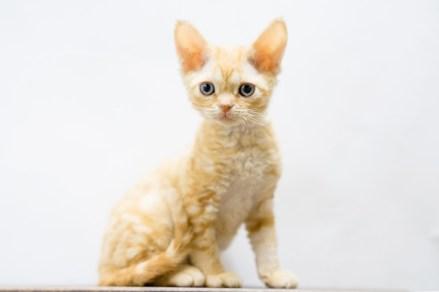 デボンレックスSNIPの仔猫 レッドクラシックタビー ♂ Devon Rex Kitten RedClassicTabby