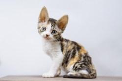 デボンレックスSNIPの仔猫 ブラウンマッカレルトービー&ホワイト♀ Devon Rex Kitten BrownMackerelTorbie&White