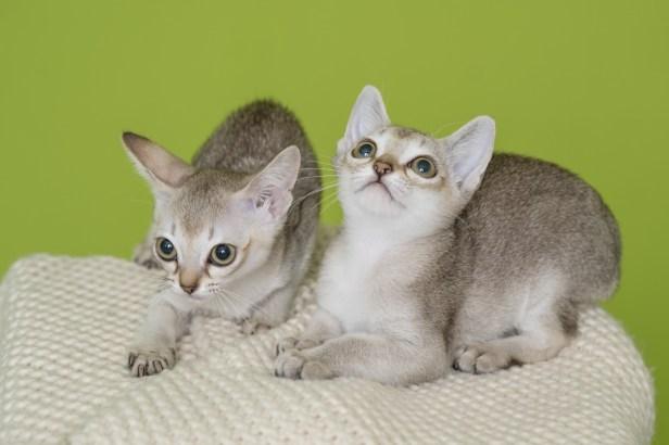 シンガプーラ ジジ 仔猫 ♂ SINGAPURA GIGI KITTENS