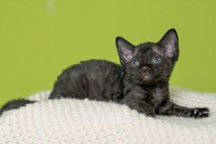デボンレックスMAKOREの仔猫 ブラック オス Devon Rex Kittens MAKORE black male