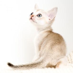 シンガプーラ LUGHの子猫 セーブルティックドタビー メス Singapura Kittens Sakuraquiet Lugh Sable ticked tabby female