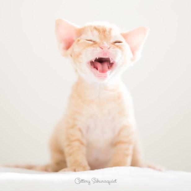 デボンレックス CATERINAの仔猫 レッドクラシックタビー オス Devon Rex Kittens CATERINA RedClassicTabby male