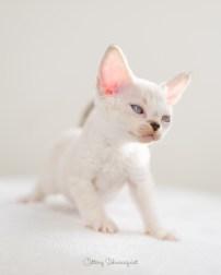 デボンレックス SNIPの仔猫 リンクスポイント&ホワイト オス Devon Rex Kittens SNIP lynx point white male