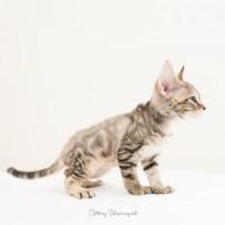デボンレックス CATERINAの仔猫 ブラウンクラシックタビー メス Devon Rex Kittens CATERINA BrownClassicTabby female
