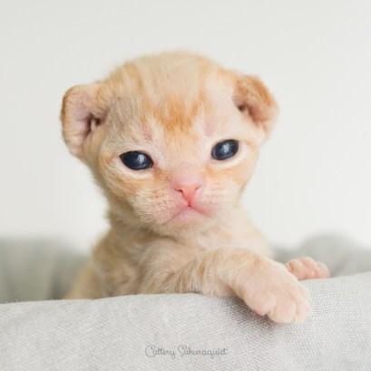 デボンレックス MAKOREの仔猫 レッドクラシックタビー オス Devon Rex Kittens MAKORE RedClassicTabby male