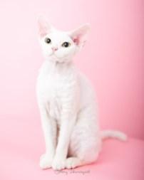 猫写真家でデボンレックスとシンガプーラなキャッテリー   Sakuraquiet Photo & Cattery