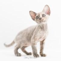 デボンレックス KIKIの仔猫 ブルートーティー メス Devon Rex Kittens KIKI Bluetortie female