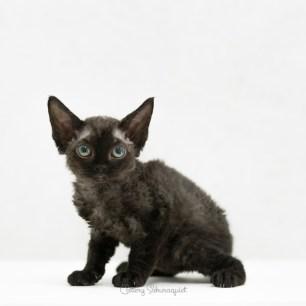 デボンレックス CHIKURINの仔猫 ブラック オス Devon Rex Kittens CHIKURIN Black male