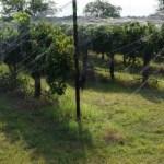 2013 Cabernet Sauvignon Harvest Saturday, August 31