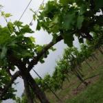 Vineyard Check