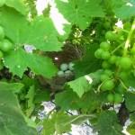 Wildlife in the vineyard