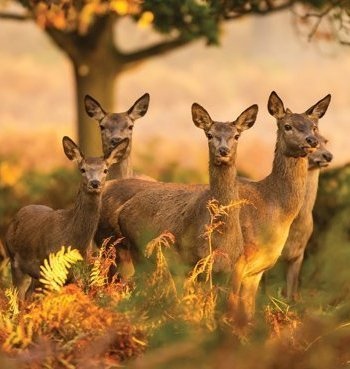 Deer photographic Card by Heart of the Garden