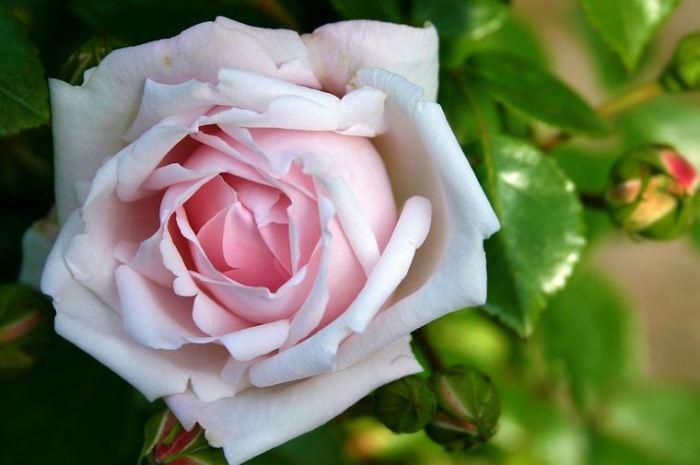 bunga-mawar-pink-6