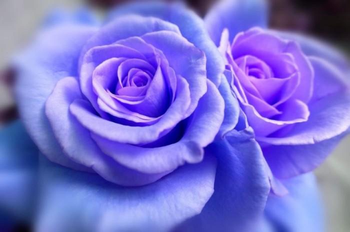 50 Gambar Bunga Mawar Tercantik Di Dunia Warna Putih Ungu Pink