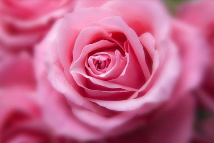 gambar-bunga-mawar-pink