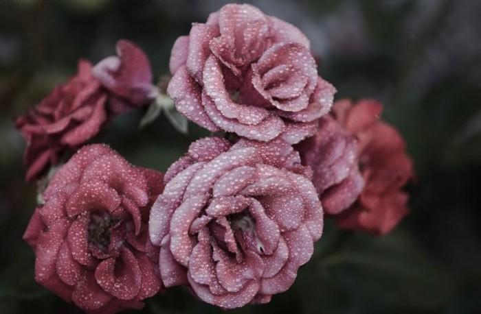 gambar-bunga-mawar-merah-muda