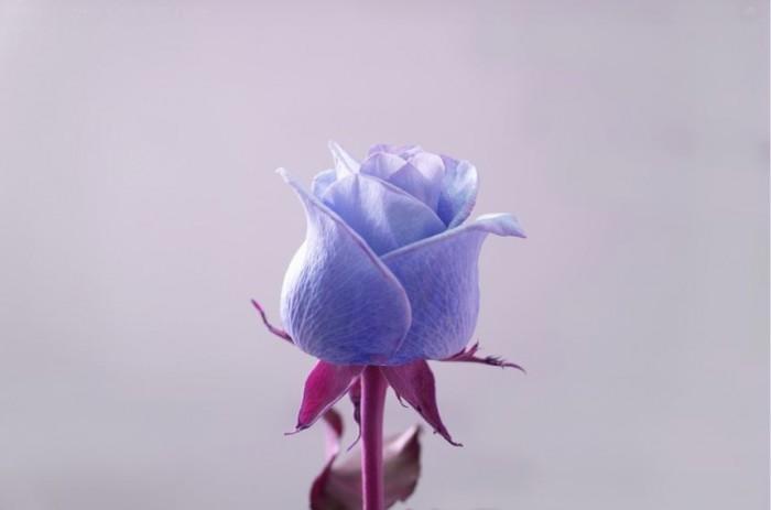 wallpaper-bunga-mawar-warna-biru