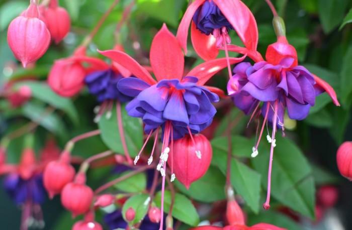 bunga tercantik di dunia fuchia