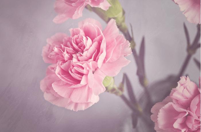 bunga-carnations-pink
