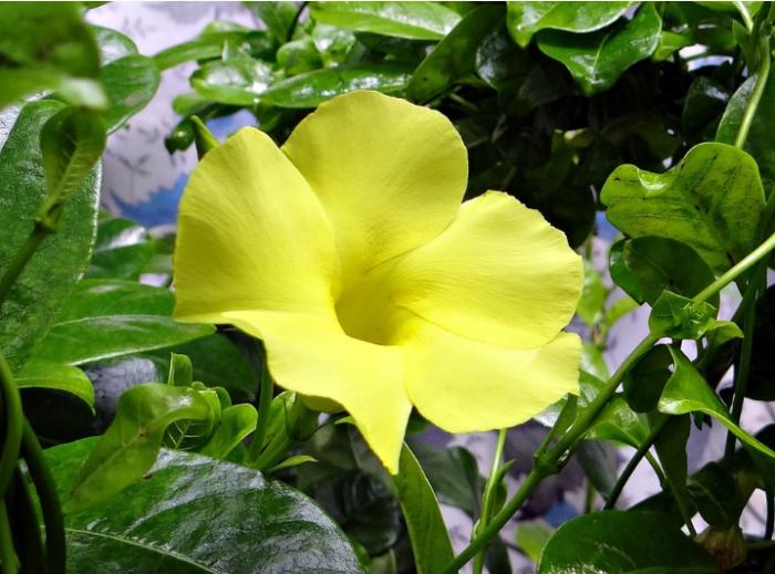 bunga-mandevilla