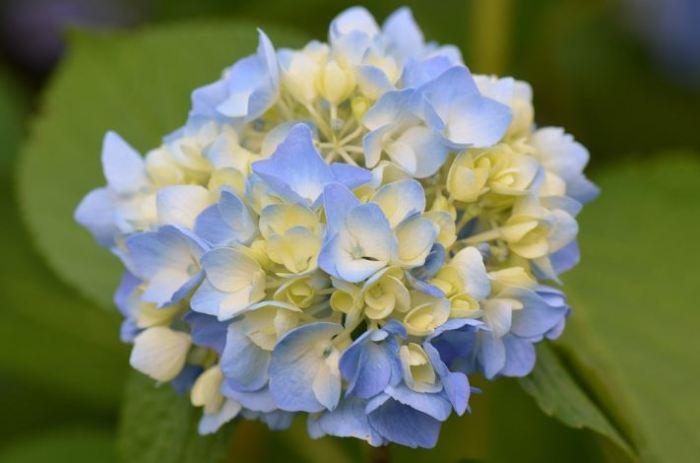 bunga terindah di dunia bunga hydrangea