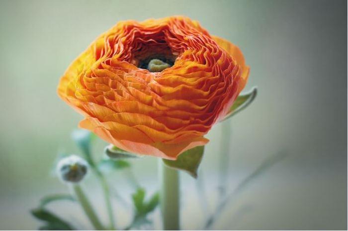jenis macam bunga terindah di dunia ranunculus