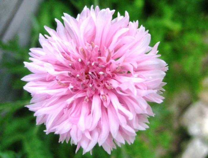 pinkcornflower