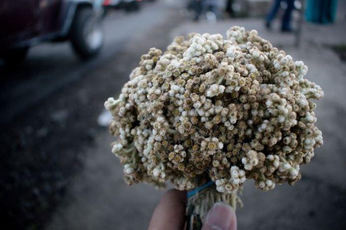bunga edelweis edelweiss