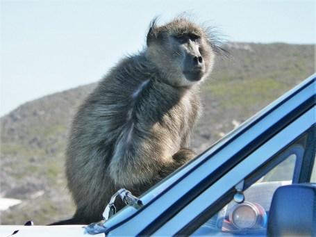 در محوطه میمون ها باید خیلی مواظب این حیوان شیطان باشید.