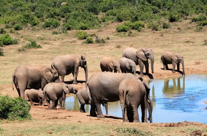 فیل های این پارک وحش وظیفه دیگری هم به عهده دارند و آن نمایش دادن برای بازدیدکنندگان است.
