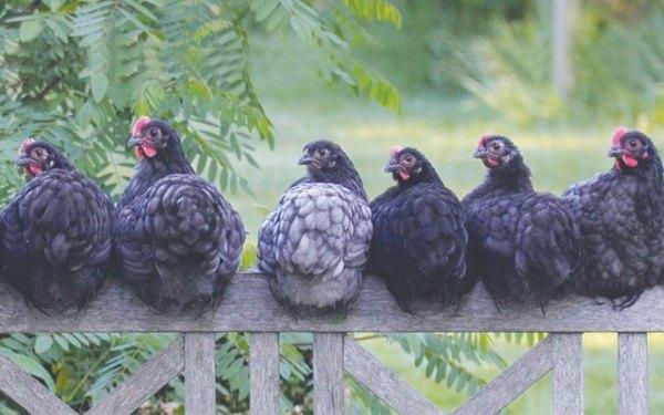فروش تخم مرغهای این مرغها  مجاز نخواهد بود.