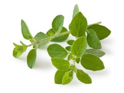 Fűszernövények - Oregánó