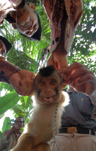 Pigtail Monkeys For Sale In West Sumatra
