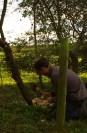 Hedgelaying