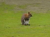 Wallaby.