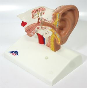 3B Scientific E12 Ear Model for Desktop 1.5 x Life Size Anatomical Educational