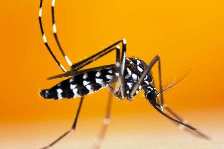 Le moustique «tigre» – Notre nouveau fléau pandémique
