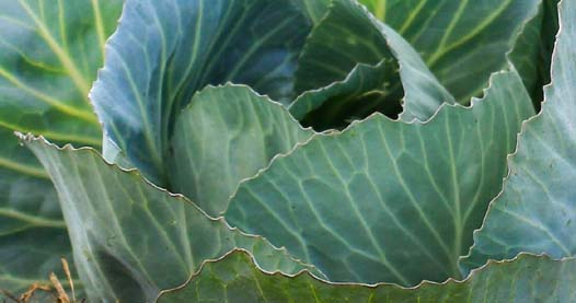 Leafy green vegetables such as cabbage have many health benefits