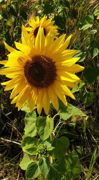Sunflower, Salisbury Plain -- Fiona Crowther, UK